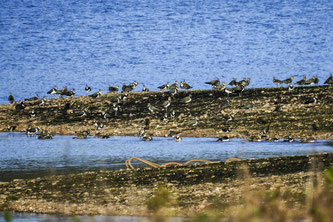 Eine Gruppe Kiebitze auf der flachen Insel. - Foto: Kathy Büscher