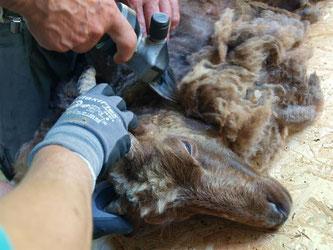 Die Schafschur befreit die Tiere von ihrer Winterwolle. - Foto: Kathy Büscher