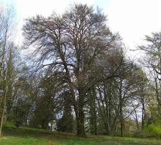 Hohe Bäume als Lebensraum vieler Tiere. - Foto: Kathy Büscher