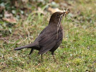 Baut ihre Nester in Hecken: Die Amsel. - Foto: Kathy Büscher