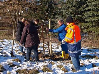 Bei diesem Baum fehlt nur noch die Befestigung, die dem Baum in den ersten Jahren zusätzlichen Halt gibt. - Foto: Kathy Büscher
