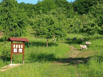 Die Schafe und der Erlebnispfad auf der Streuobstwiese Hohenrode. - Foto: Kathy Büscher