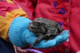 Marie hat ein Erdkrötenpaar aus einem Fangeimer auf ihren Wollhandschuh gesetzt. Die Fangeimer werden täglich vom Nabu kontrolliert. - Foto: Jan Oldehus