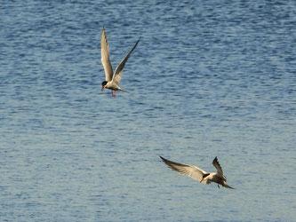 Flussseeschwalben auf der Jagd. - Foto: Kathy Büscher