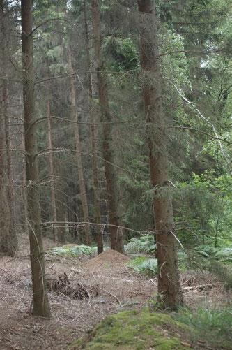 Ameisenbau im Wald. - Foto: Britta Raabe