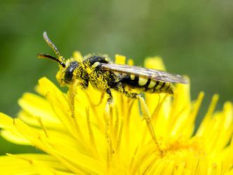Wespenbiene auf Löwenzahn. - Foto: Kathy Büscher