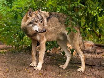 Das Ziel der Fahrt: Wölfe beobachten im Wolfscenter. - Foto: Kathy Büscher