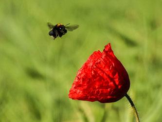 Viele Insektenarten verschwinden. - Foto: Kathy Büscher