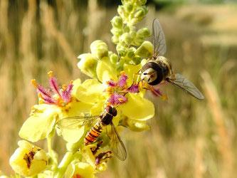 Auch viele Insekten verschwinden aus der Landschaft. - Foto: Kathy Büscher