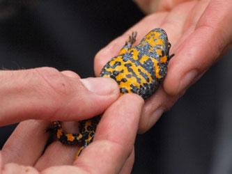 Jede Gelbbauchunke hat, vergleichbar mit dem menschlichen Fingerabdruck, ein individuelles Bauchmuster, an dem sie identifiziert werden kann. - Foto: Kathy Büscher