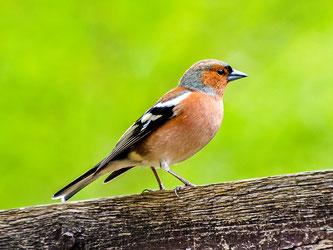 Ein Buchfinken-Männchen sitzt auf einem Holzzaun. - Foto: Kathy Büscher