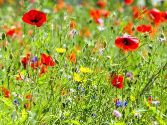 Artenreiche Wiesen werden durch die Reduktion von Pestiziden gefördert. - Foto: Kathy Büscher