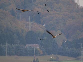 Vor Allem die seltenen Seeadler könnten gefährdet sein. - Foto: Kathy Büscher