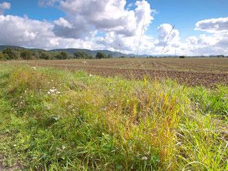 Feld mit Ackerrandstreifen im Naturschutzgebiet