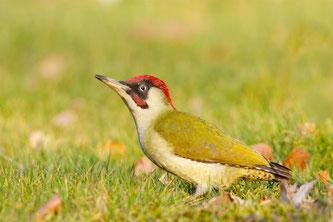 Der Grünspecht - Vogel des Jahres 2014. - Foto: NABU