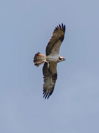 Kreisender Fischadler mit gefangenem Fisch über der Auenlandschaft. - Foto: Kathy Büscher