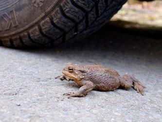 Amphibien leben zu Wanderzeiten sehr gefährlich. - Foto: Kathy Büscher