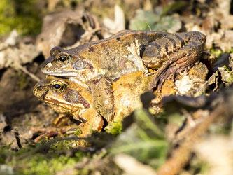 Ein Grasfrosch-Doppeldecker, der in Möllenbeck im Eimer saß. - Foto: Kathy Büscher