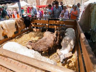 Auch die Schafe vom NABU Lippe waren wieder mit dabei. - Foto: Kathy Büscher