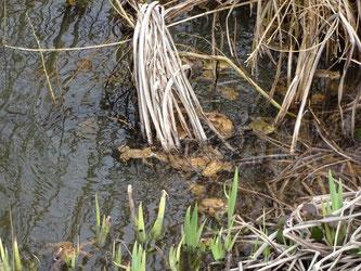 Erdkröten laichen am Klinikum Aschaffenburg
