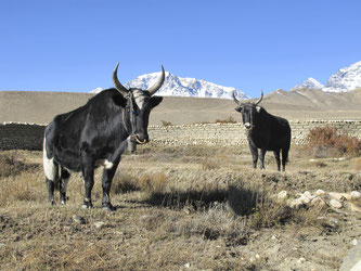 In Mustang erleben Hauser-Reisende eine der ursprünglichsten Regionen Nepals, Yaks zählen dort noch immer zu den wichtigsten Nutztieren. ©Hauser Exkursionen/Katharine Plitz