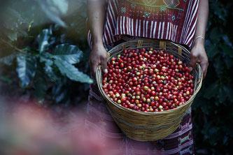 Zu den Fairtrade Produkten gehört auch Kaffee. Das Foto zeigt die Kaffeeernte und die Kaffeebohne (Foto: pixabay.com / reynaldoac)
