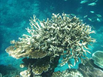 Von Korallenbleiche betroffene Korallen am Great Barrier Reef. Foto: Daniel Naupold/Archiv