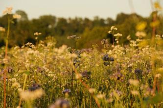 Solche Wiesen locken zum Beispiel Insekten an (Foto: Landrats-amt München)