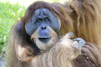 Orang-Utan (Symbolbild; Foto: pixabay.com / Wildfaces)
