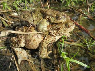 Die Amphibien-Wanderung hat begonnen (Foto: Landratsamt München)