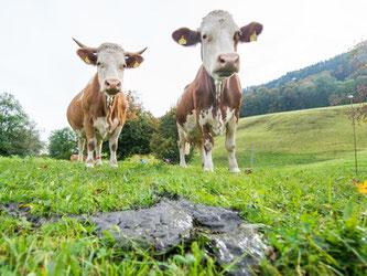 Rinder produzieren Hunderte Liter Methangas je Tier täglich. Foto: Marc Müller