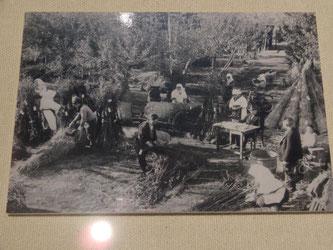 りんごの苗木の出荷作業を行う平岸のりんご農家(北海道博物館展示資料より)