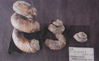 浦河町で発見された新種のアンモナイト(10月15日北海道新聞朝刊1面より)