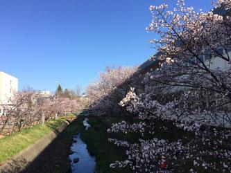 精進川沿いの千島桜並木(写真は昨年のものです)