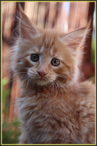 Maine Coon Kitten Ruby of Dantes Peak