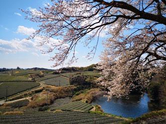 凱旋山から見下ろす山桜と茶畑風景