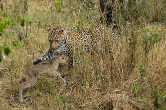 Leopard playing with young Reedbuck