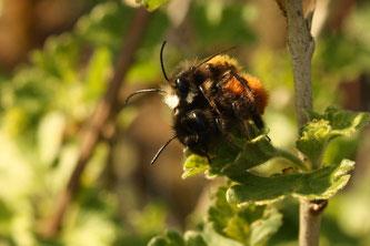 Männchen und Weibchen der Gehörnten Mauerbiene bei der Paarung. Foto: Sabrina Rötsch