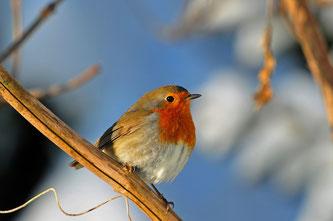 """Das Rotkehlchen ist der erste öffentlich gewählte """"Vogel des Jahres"""". Foto: Reimund Francke"""