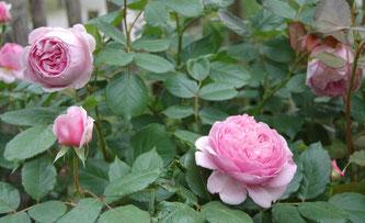 Geoff Hamilton, englische Rose