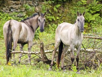 Die Sorraia-Pferde im Steinbruch. - Foto: Kathy Büscher