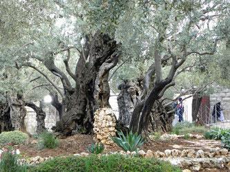 Jesus Nachtquartier in Jerusalem: Garten Getsemani am Fuße des Ölbergs