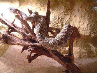 Coronado - Klapperschlange
