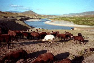 die Herden kamen vom gegenüberliegenden Ufer des Aras