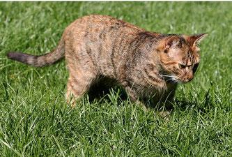 Katze auf Rasenfläche