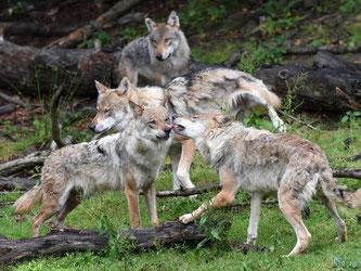 Ein Wolfsrudel tollt im Wildpark Knüll in Hessen. Foto: Uwe Zucchi