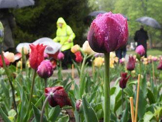 In Bad Herrenalb blühen auf dem Gartenschaugelände Tulpen. Foto: Uli Deck/Archiv