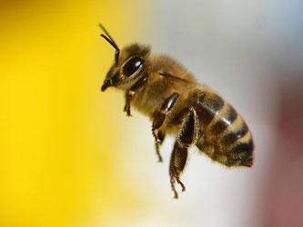 Weniger Bienen, schrumpfende Schmetterlingsbestände: Forscher glauben, dass dafür auch Pflanzenschutzmittel verantwortlich sind. Foto: Arne Dedert/Archiv