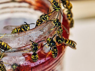 Sie stehen auf Süßes und lassen einen auf der Terrasse kaum in Ruhe: Wespen sind an warmen Sommertagen eine Plage. Foto: Paul Zinken