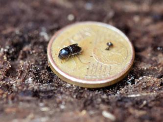 Ein Borkenkäfer krabbelt über eine Ein-Cent-Münze. Foto: Uli Deck/Archiv